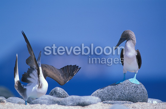 Pair of Blue-footed Boobies courting, Galapagos, Ecuador