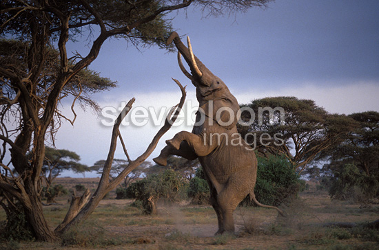 Male African elephant standing on hind legs to reach the tender leaves and branches of an acacia tree, Amboseli NP, Kenya