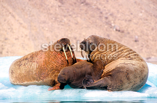 Family of walruses, Devon island,Canadian Arctic