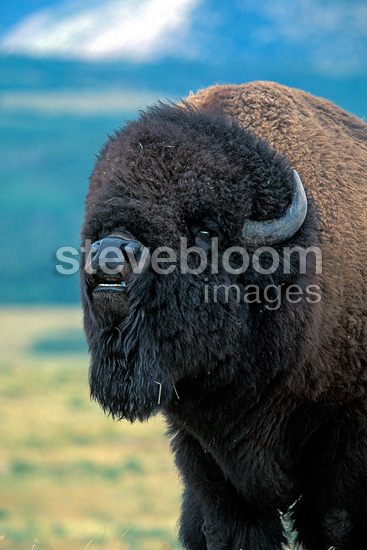 Male bison in captivity during rutting season, Alberta, Canada