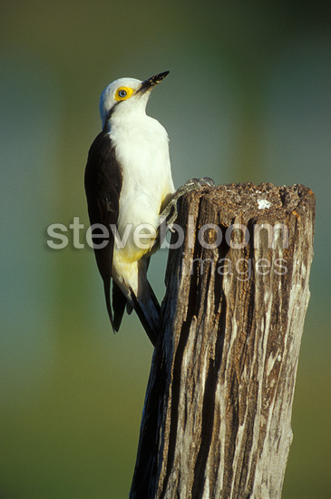 White Woodpecker climbing on a picket