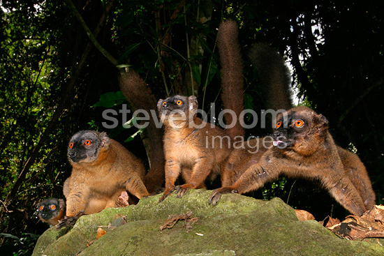 Common brown lemur (Mayotte lemur) sticking its tongue out