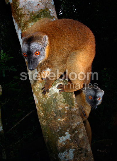 Common brown lemur (Mayotte lemur)