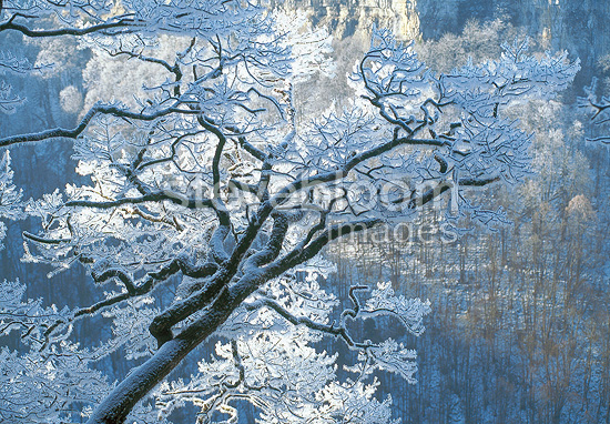 Branches of an Oak tree covered with ice, Jura region, France