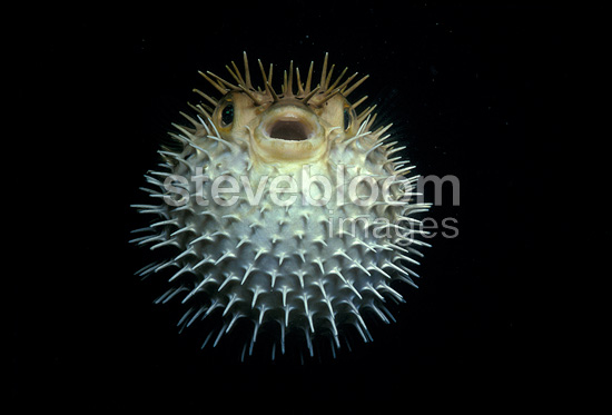 Long-spine porcupinefish in defensive position Carribean