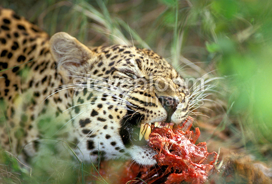 Leopards eating - photo#5