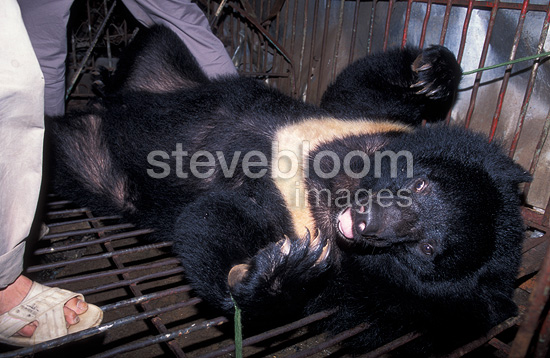 Extracting bile from an Asiatic black bear, Vietnam