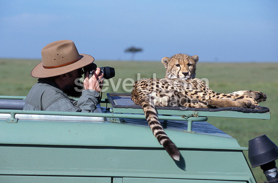 Tourist taking photos of a cheetah on a car bonnet, Masai Mara, Kenya