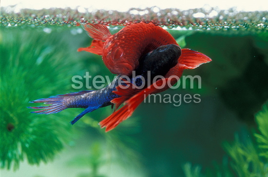 Male Siamese fighting fish rolling itself around a female