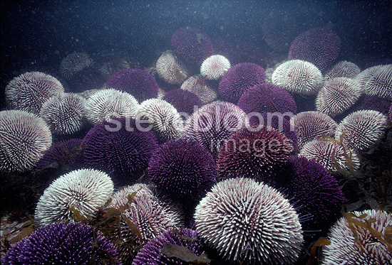 Colony of Edible sea urchins feeding on algae, Ushant, France