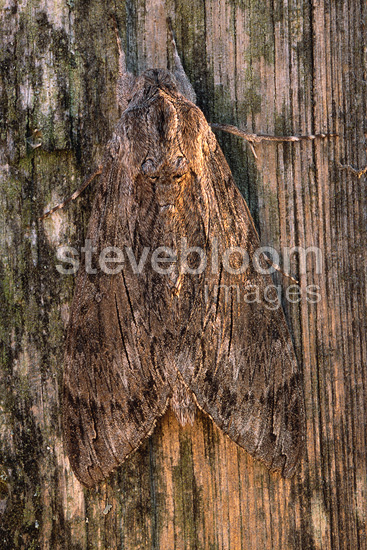 Convolvulus Hawk-moth on a picket, France