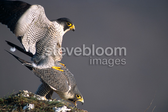 Peregrine Falcons mating on a mountain peak, France