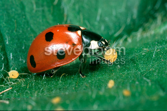Seven-spotted ladybird eating an aphid, France