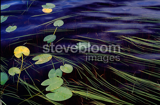Bur-reed and water lily leaves in a bog, Canada