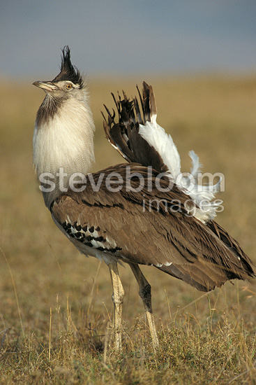 Male Kori Bustard courting, Kenya