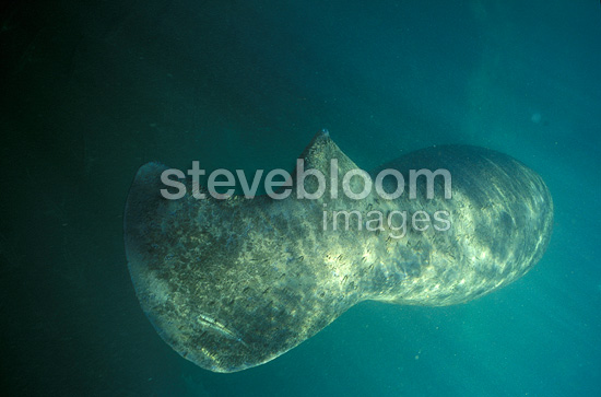 Florida Manatee with its tail scarred swimming, Crystal River, Florida