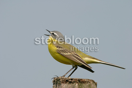 Male Yellow Wagtail (Ashy-headed Wagtail) singing in spring, Europe
