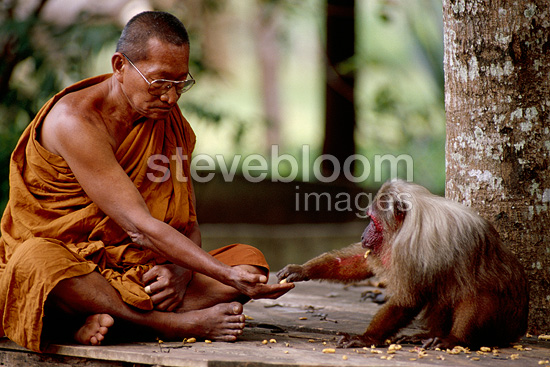 Monk feeding a stump-tailed macaque Thailand