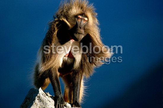 Male gelada baboon on a rock, Ethiopia
