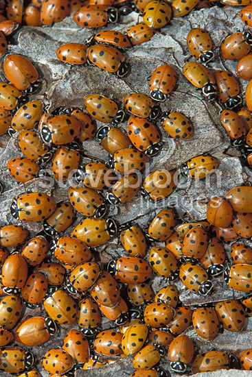 Convergent lady beetles converging close-up USA