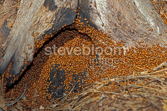 Convergent lady beetles at the base of a tree trunk USA