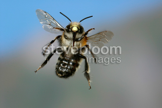 Anthophora bee (Hairy footed flower bee) in flight France