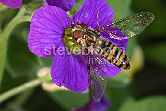 Hoverfly on a mauve flower Loiret France