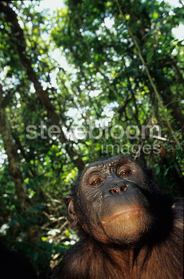 Nine-year-old male bonobo Portrait DR Congo