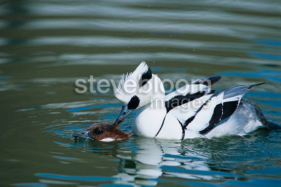 Smews mating on the water France