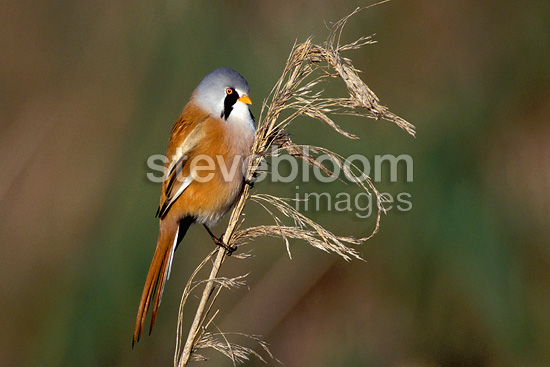 Bearded Reedling (tit) on a reed Switzerland