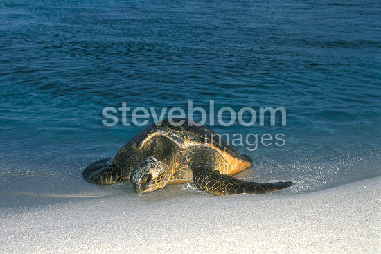 Female green turtle coming to shore to lay her eggs Hawaii