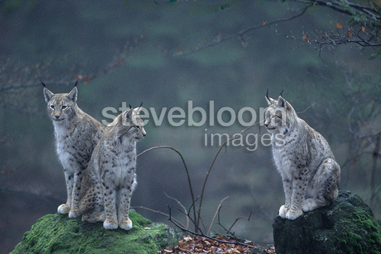 Group of Eurasian Lynxes Bayerischer Wald Germany