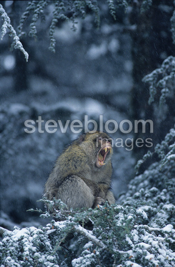 Male Barbary Macaque protecting itself from the cold Morocco