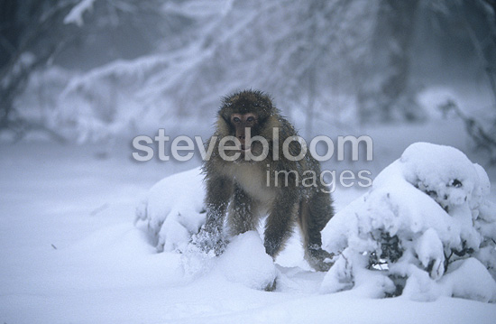 Male Barbary Macaque in the snow Middle Atlas Morocco