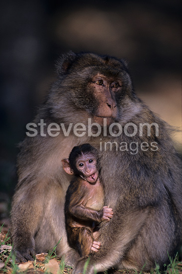 Male Barbary Macaque & young Portrait Middle Atlas Morocco