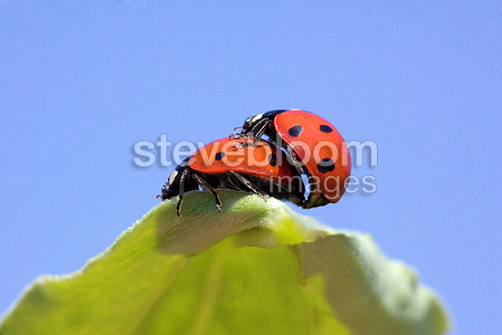 Ladybirds mating on a pea leaf