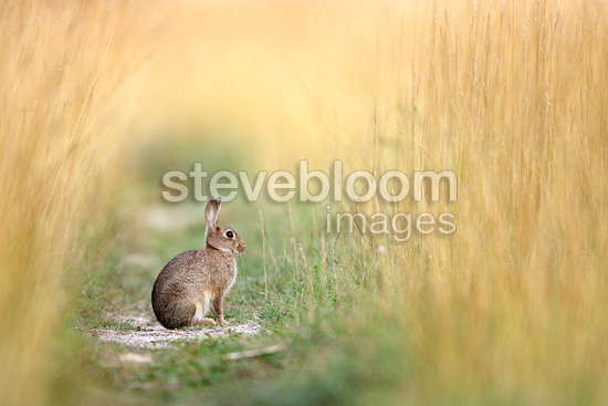 European Rabbit sitting on an unmowed track Aube France