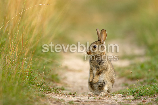 European Rabbit standing on an unmowed track Aube France