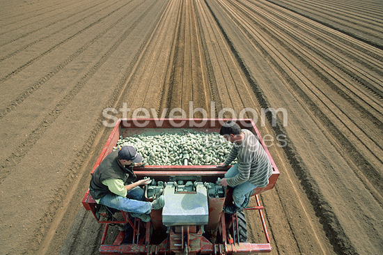 Planting potatoes with an automatic potato planter, France