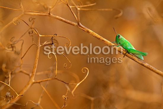 Young Locust posed on a dry Pea field Switzerland