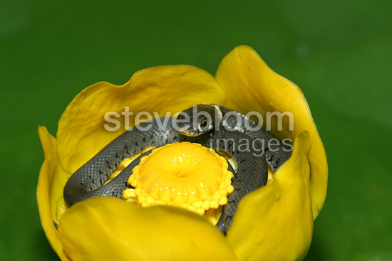 Young grass snake curled up in a water lily, France
