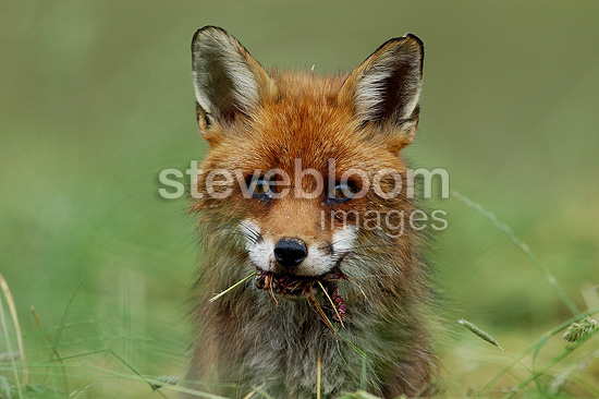 Red fox eating a vole Vosges France