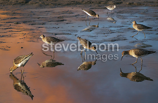 Ruffs in early morning Camargue France