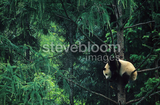 Giant Panda in a tree China