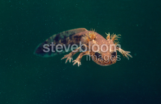 Fire Salamander larva swimming