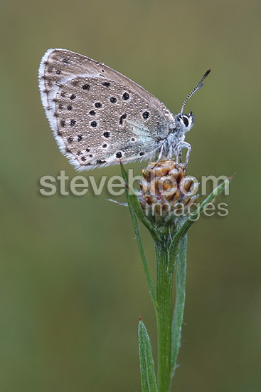 Large Blue on a plant close-up France