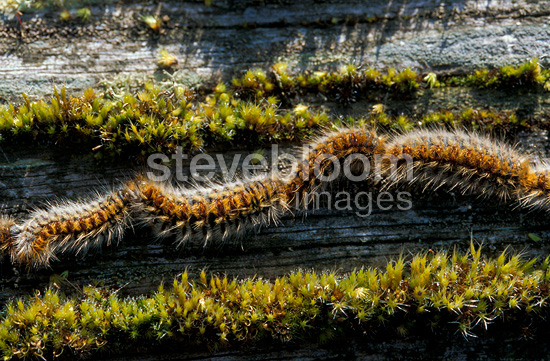 Pine Processionary caterpillars marching nose-to-tail France