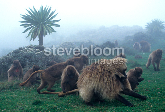 Dominant male Gelada baboon eating with the group, Ethiopia