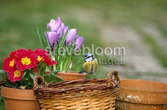 Blue tit posed on a basket and spring containers