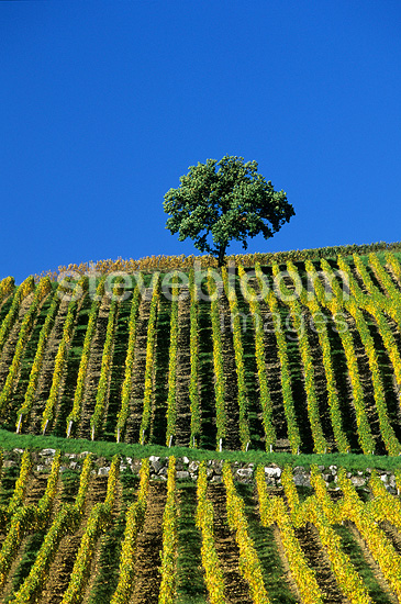 Vines and lone tree in autumn Voiteur Jura France